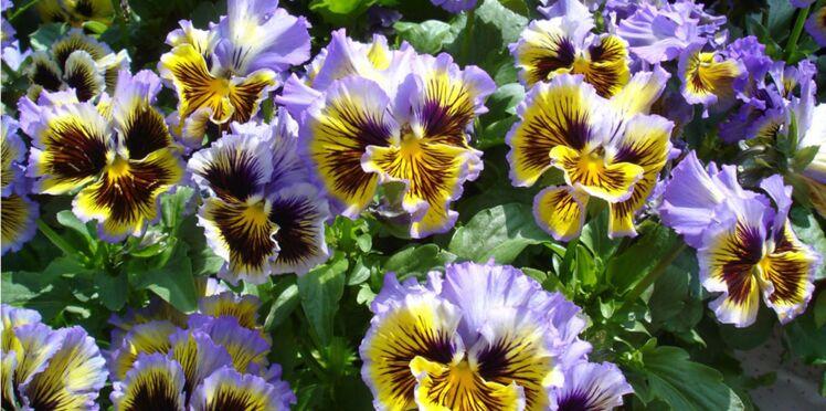 Coup de coeur: des fleurs de pensées froufroutantes