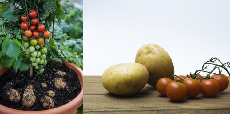 Incroyable : ce pied de tomates donne… des patates !