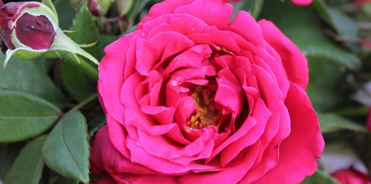 La nouvelle rose Lalande de Pomerol®
