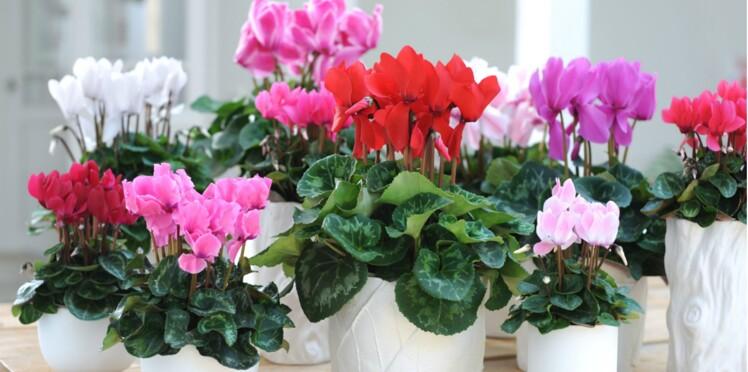 Le cyclamen, plante d'intérieur à découvrir en novembre