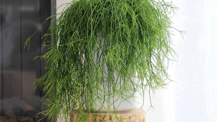 Le rhipsalis, plante d'intérieur à découvrir en octobre