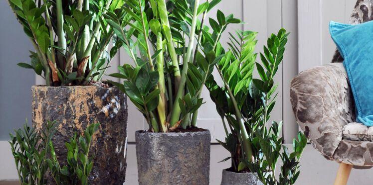 Le zamioculcas, plante d'intérieur à découvrir en septembre