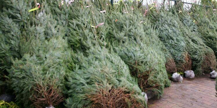 Loués pour être replantés, ces sapins ne meurent pas à Noël