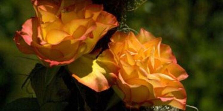 La rose Arpège en vente à l'automne