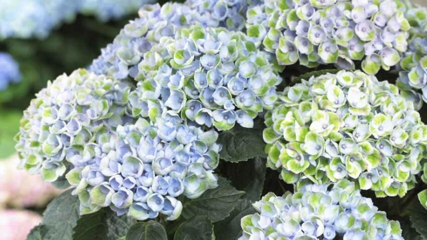Un hortensia bleu, blanc, violet, au fil de la saison