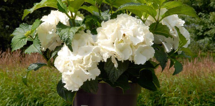 Un nouvel hortensia blanc