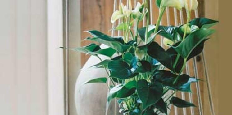 Découvrez l'anthurium, la plante de décembre