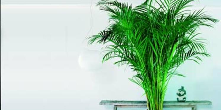 Le chrysalidocarpus, la plante star du mois d'août