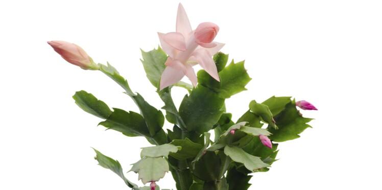 Comment faire fleurir un cactus de Noël ?