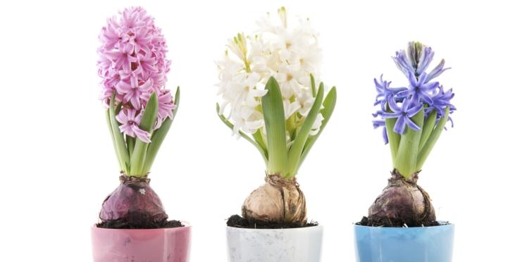 Comment faire pousser des jacinthes à la maison ?