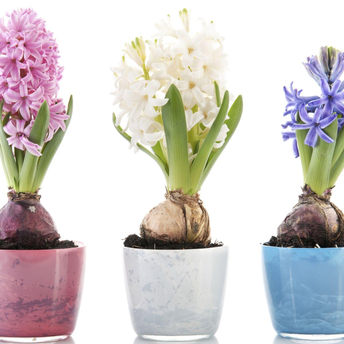 Plante D Intérieur A Faire Pousser comment faire pousser des jacinthes à la maison ? : femme