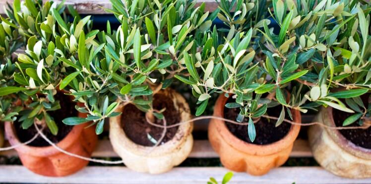 Comment planter un olivier ?