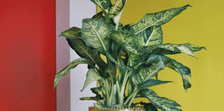 La plante du mois d'août : le dieffenbachia