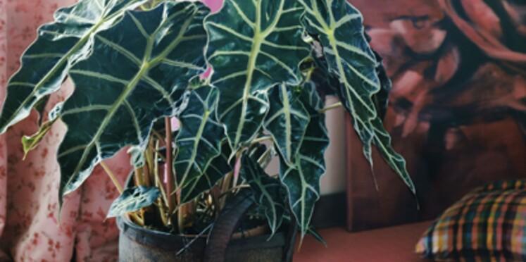 La plante du mois de septembre : l'alocasia