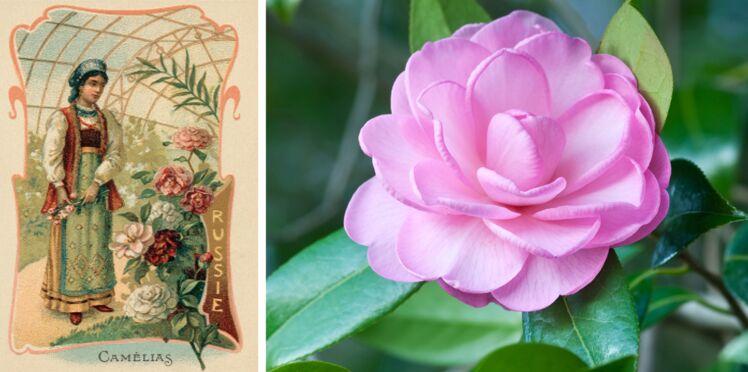 Langage des fleurs : symbole et histoire du Camélia