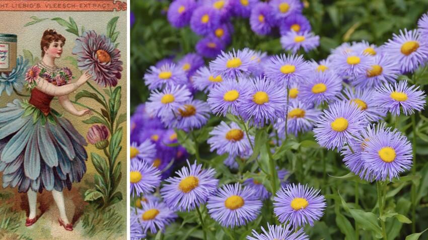 Langage des fleurs : symbole et histoire de l'Aster