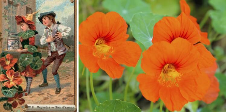 Langage Des Fleurs Symbole Et Histoire De La Capucine Femme