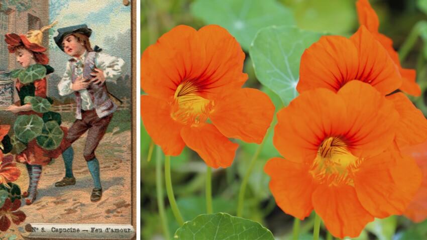 Langage des fleurs: symbole et histoire de la Capucine