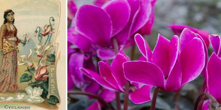 Langage des fleurs : symbole et histoire du Cyclamen