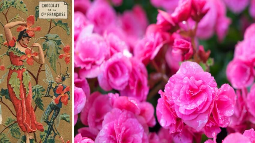 Langage des fleurs : symbole et histoire du Bégonia