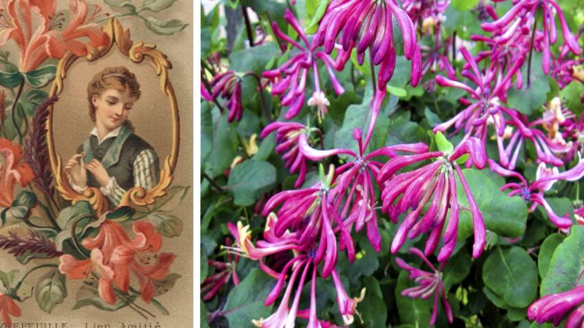 Langage des fleurs : symbole et histoire du Chèvrefeuille