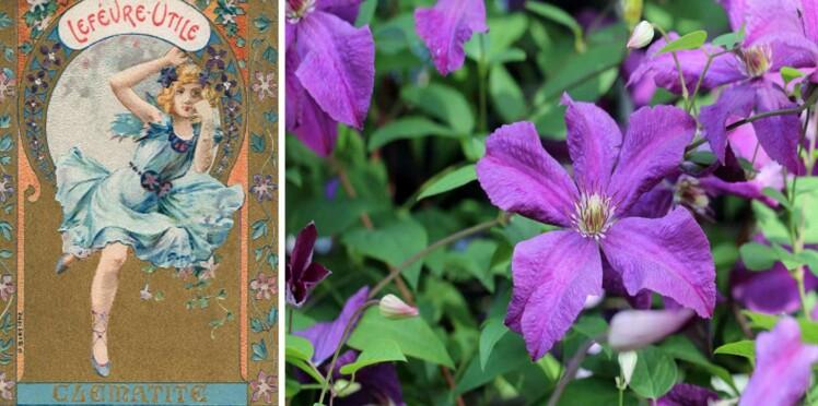 Langage des fleurs : symbole et histoire de la Clématite
