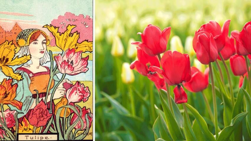 Langage des fleurs : symbole et histoire de la Tulipe