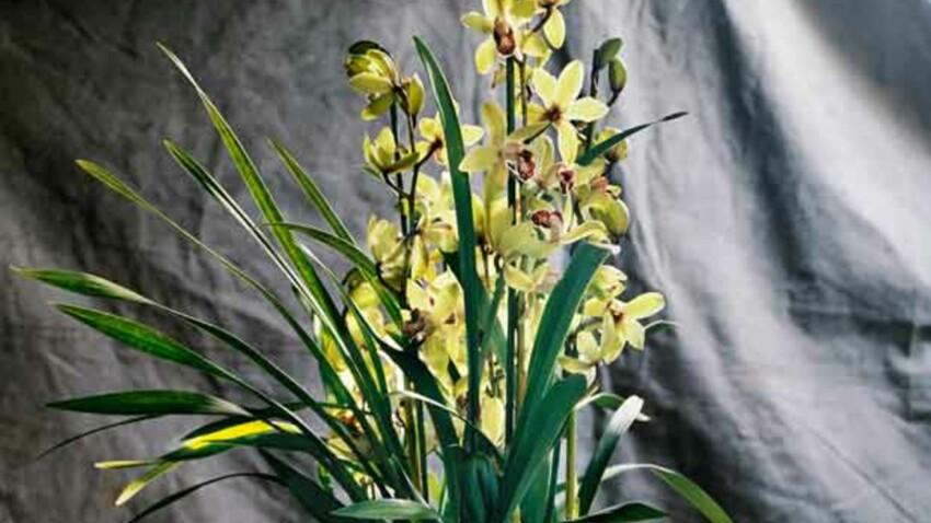 Tout savoir sur le cymbidium, sorte d'orchidée