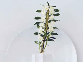 Le dendrobium, la plante du mois du février