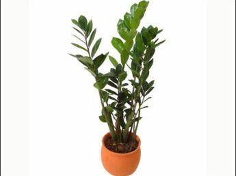 Ma plante Chameau!