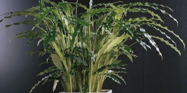 La plante du mois de juin : le Calathéa