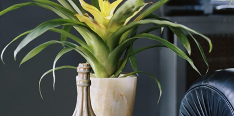 La plante du mois de mai : le Guzmania