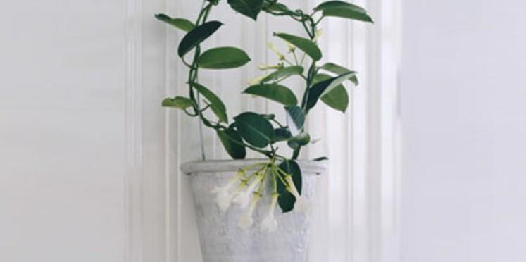 La plante du mois de mars : le stephanotis