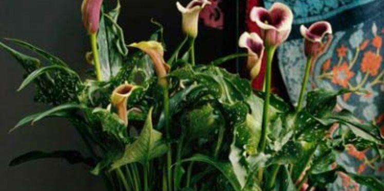 La plante du mois d'avril : le zantedeschia