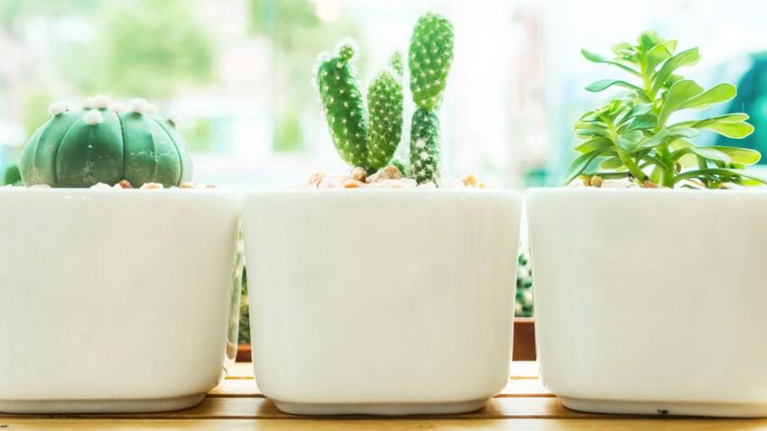 Plantes grasses : comment les entretenir ?