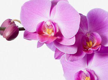 Comment entretenir les orchidées