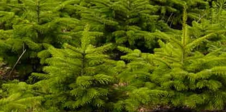 Un sapin de Noël respectueux de l'environnement
