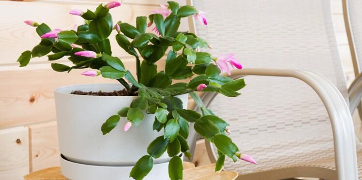 Le schlumbergera, la plante du mois de novembre