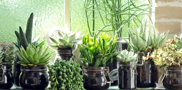 Tout savoir sur la succulente