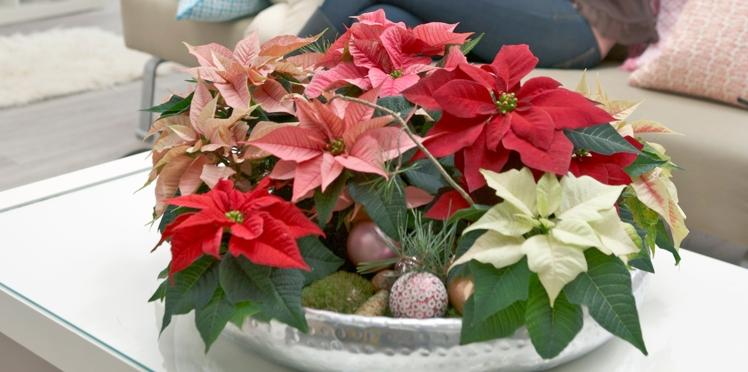 Tout savoir sur le poinsettia ou Etoile de Noël