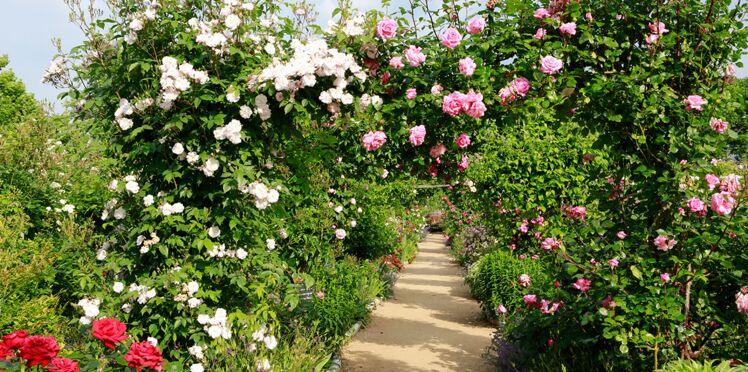 Video : comment tailler les rosiers ?