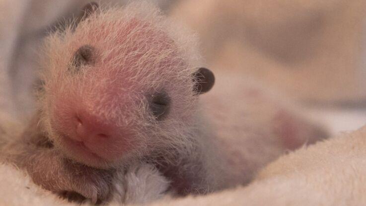 Vidéo : les premières images du bébé panda de Beauval