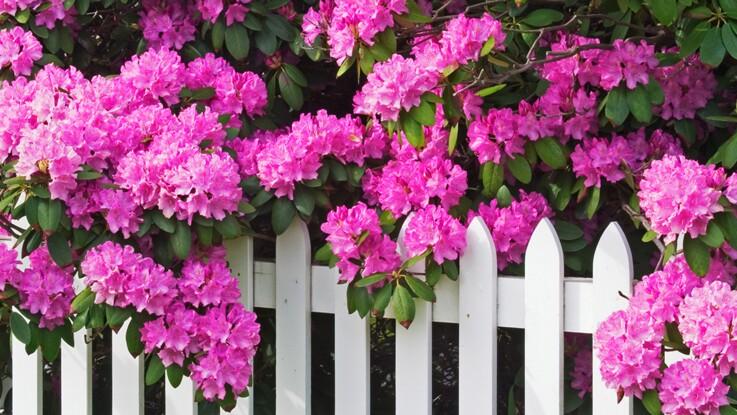 Tout savoir sur le rhododendron