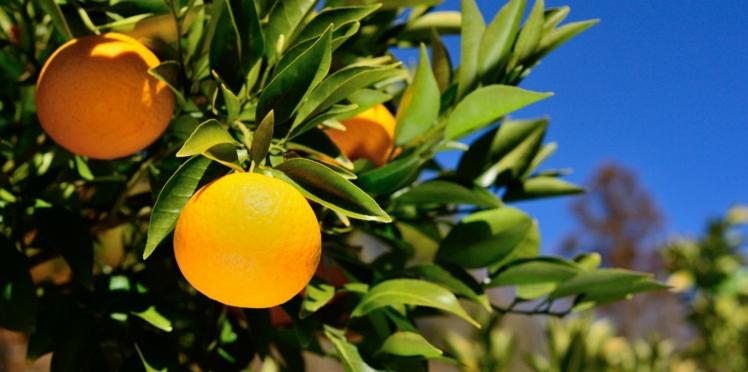 Perte de poids : attention à l'orange amère dans les compléments alimentaires