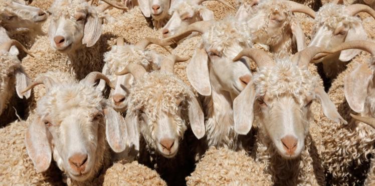 H&M, Zara, Gap…Les enseignes mode les plus célèbres disent stop à la laine mohair