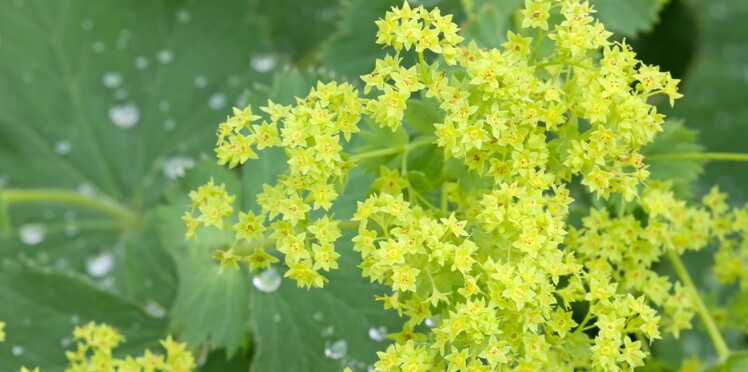 "Image search result for ""Alchemilla"""