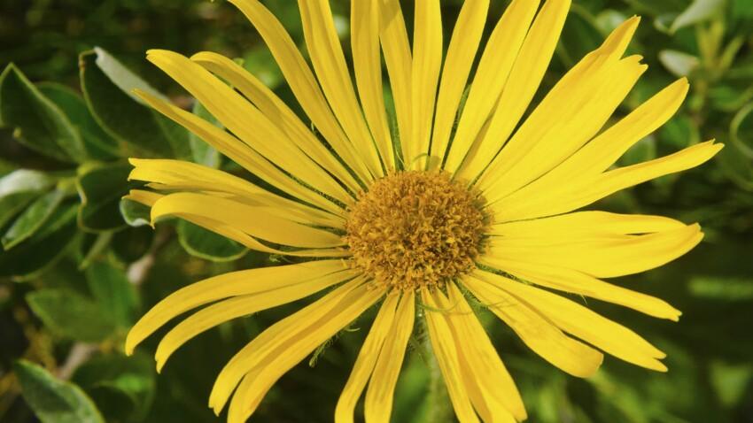 Arnica : de la plante à la granule