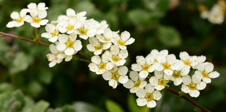 Phytothérapie: l'aubépine, une plante bonne pour le cœur