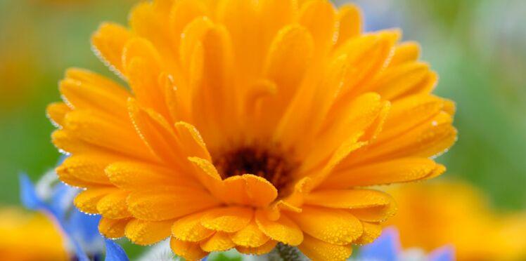 Le calendula, la plante apaisante