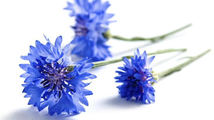 L 39 eau de bleuet un anti inflammatoire naturel femme actuelle le mag - Coloriage fleur bleuet ...